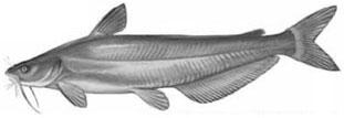 Blue Catfish: Ictalurus furcatus