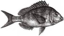 Scup (Porgy): Stenotomus chrysops