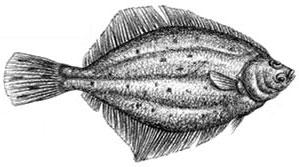 Summer Flounder (Fluke)